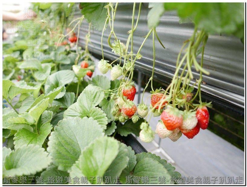 [苗栗大湖] 阿松高架草莓園 年前採草莓趣 201701017